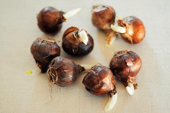 Подготовьте луковицы