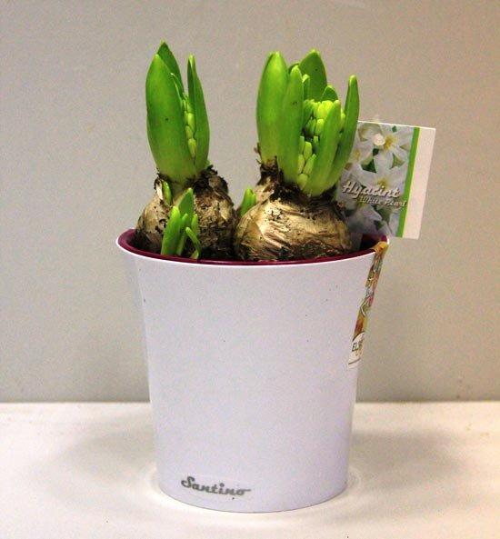 Бонбоньерка – луковица цветка
